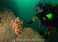 Nice  red dead mans finger  near the wreck of the Hathor ... by Malcolm Nimmo 